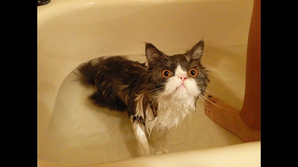 Kedi Yıkama Püf Noktaları