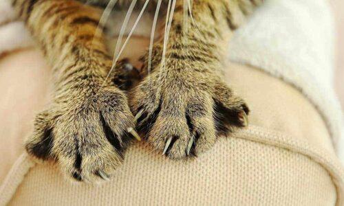 Kediler Neden Masaj Yapar?