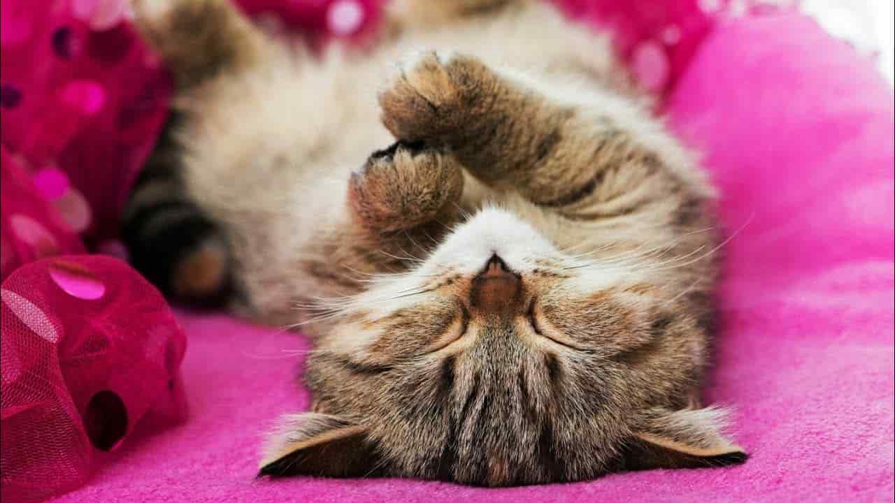 Kediler Rüya Görür Mü