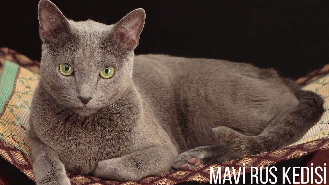 mavi-rus-kedisi-özellikleri