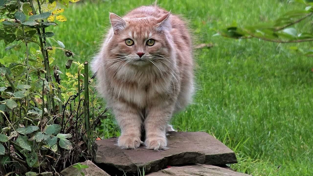 Sibirya Kedisi Fiziksel Özellikleri