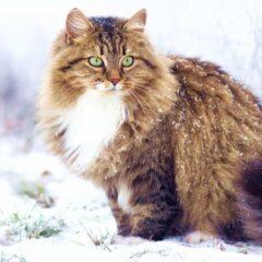 sibirya-kedisi-ozellikleri-ve-bakimi-1-240x240.jpg