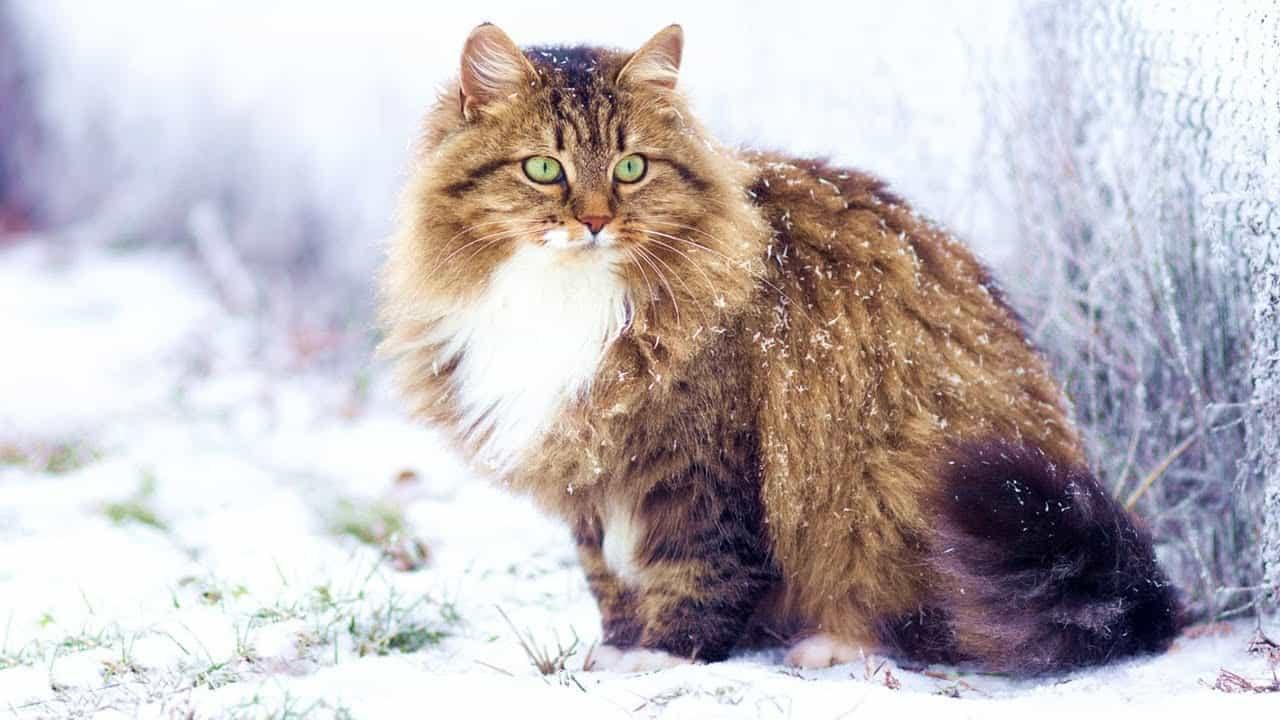 sibirya-kedisi-ozellikleri-ve-bakimi-1.jpg