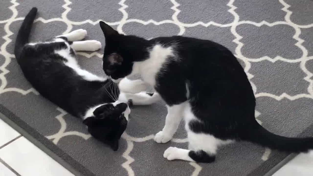 Smokin Kedi Evcil Hayvanlarla Anlaşabilir Mi