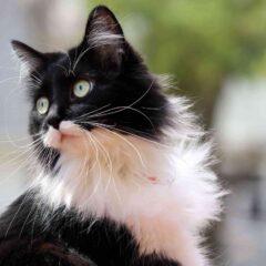 smokin-kedi-ozellikleri-ve-bakim-rehberi