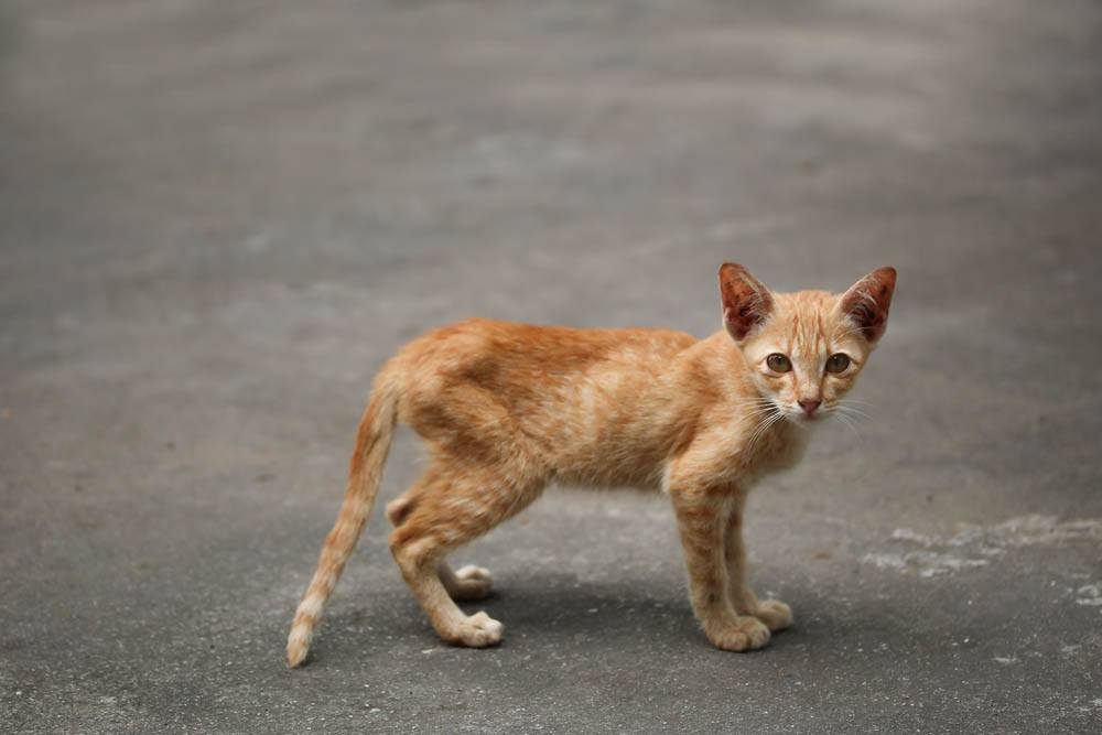 zayif-kediler