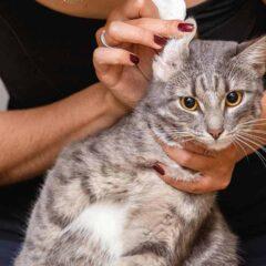 kedi-kulagi-nasil-temizlenir
