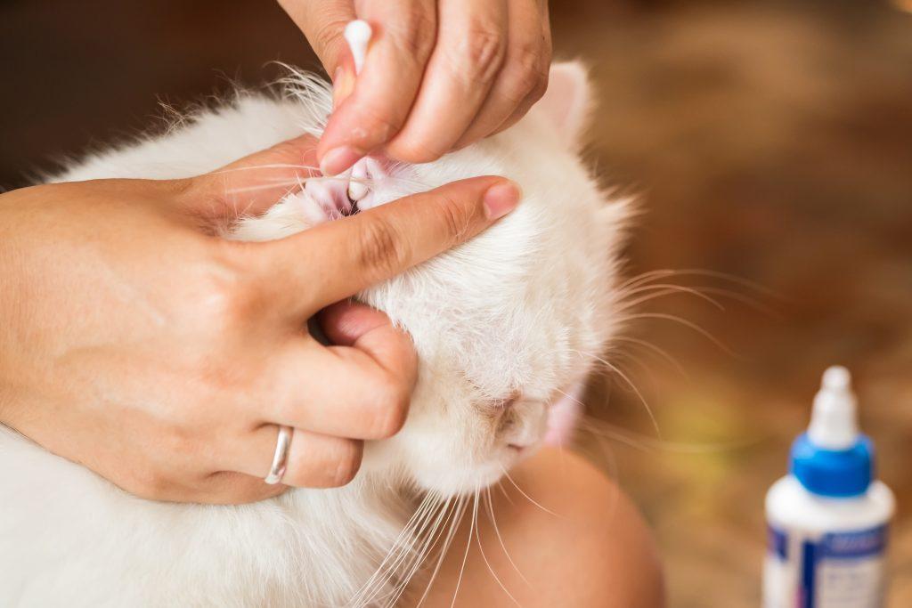 Kedilerde Kulak Temizliği Yapılmalı Mı?