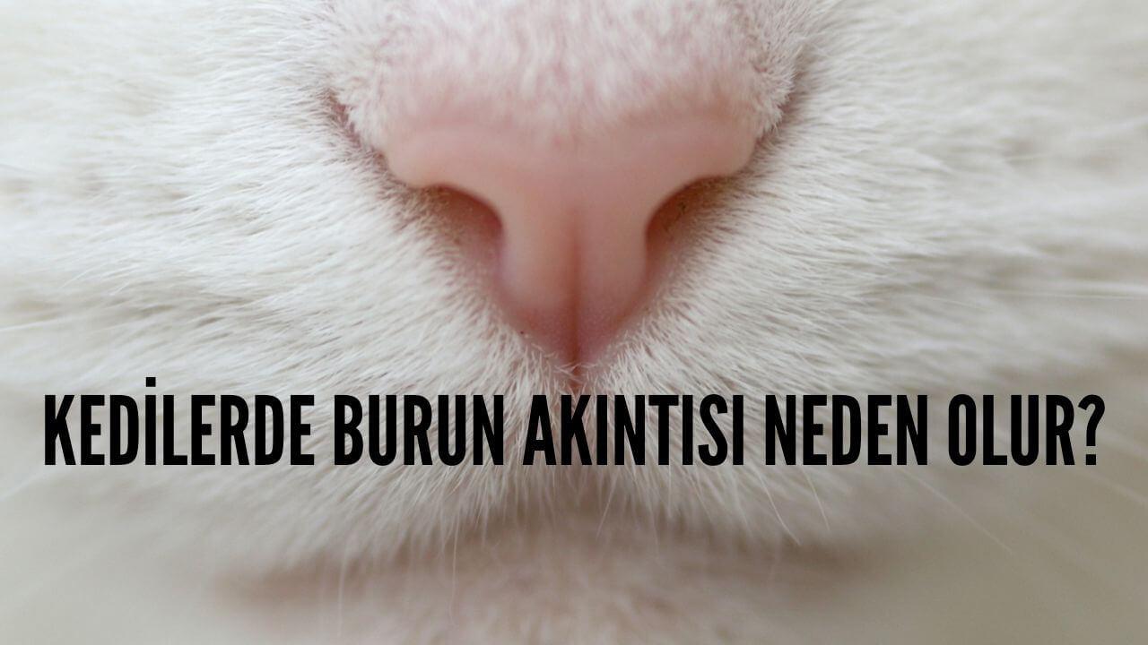 kedilerde-burun-akintisi-neden-olur