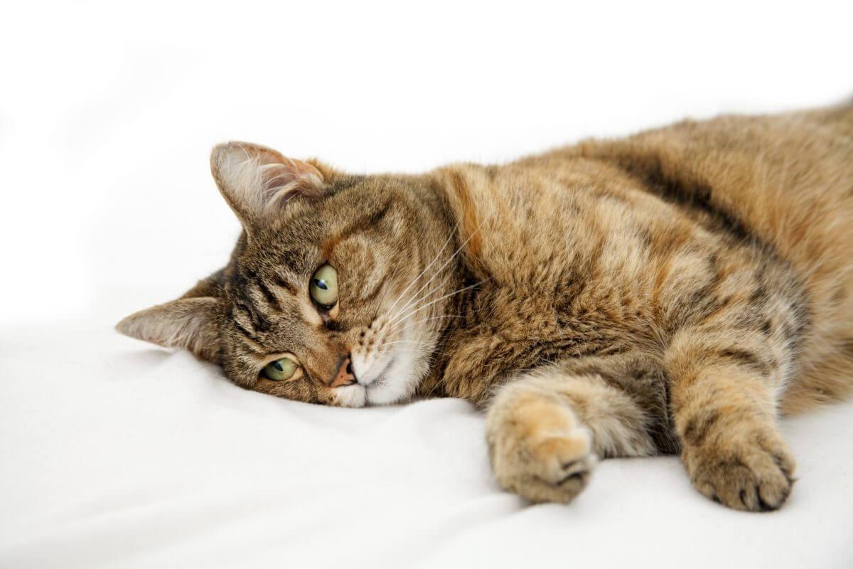 Kedinin Ateşi Nasıl Anlaşılır