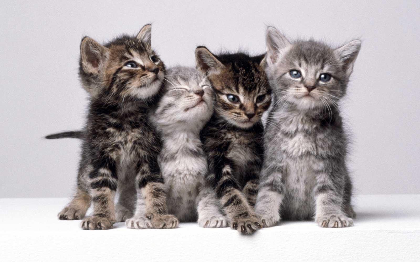 Yavru Kedilerin Gözleri Neden Mavidir
