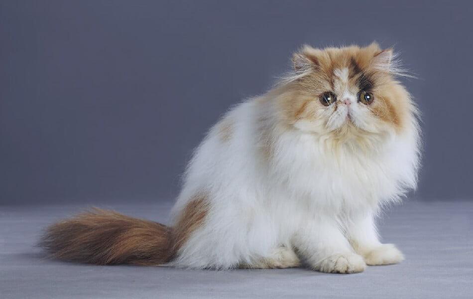 Persian Calico Kedisi