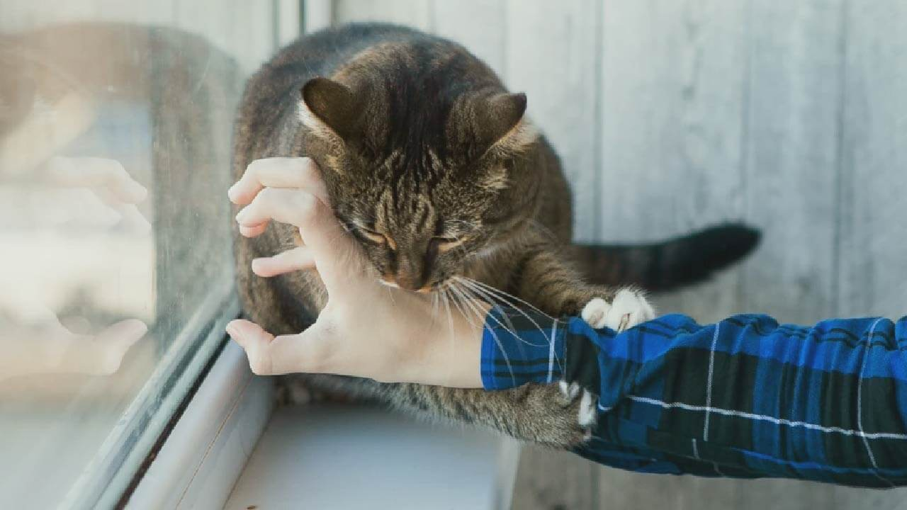 Kedilerde Hırçınlığa Bağlı Isırma