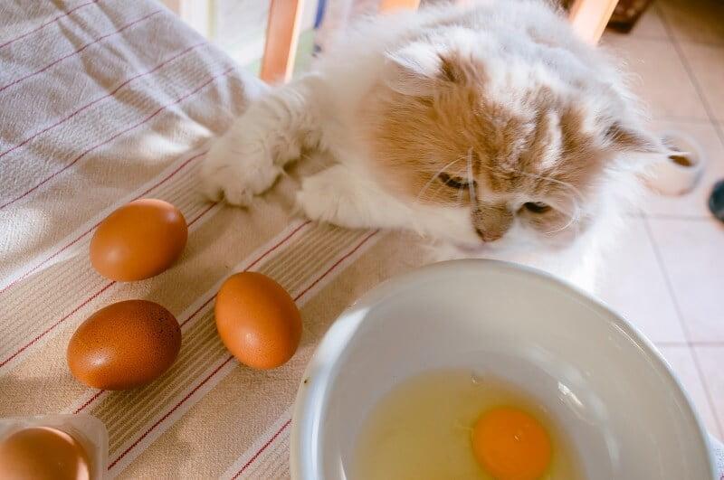 Kedilere Yumurta Verilir Mi?