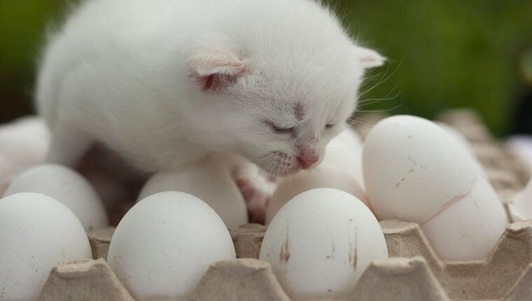 Yavru Kediler Yumurta Yer Mi?