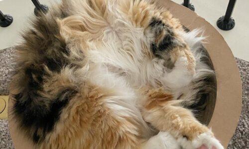 Kedilerin Uyuma Şekilleri ve Anlamları