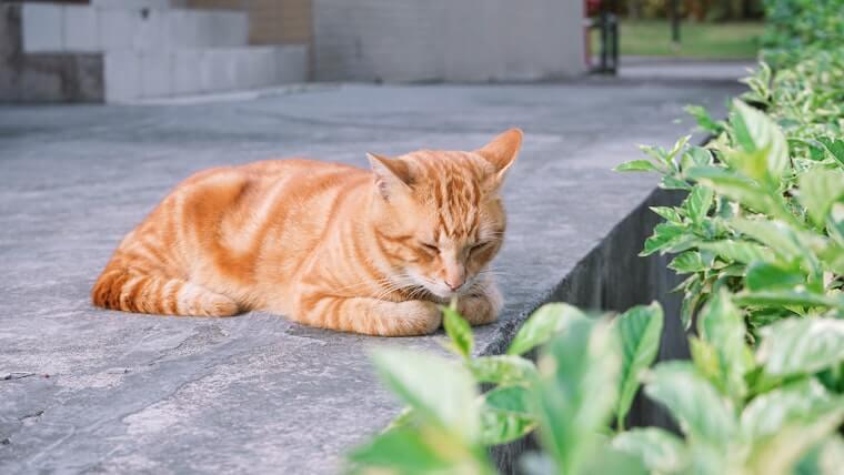 Sfenks Gibi Uyuyan Kedi