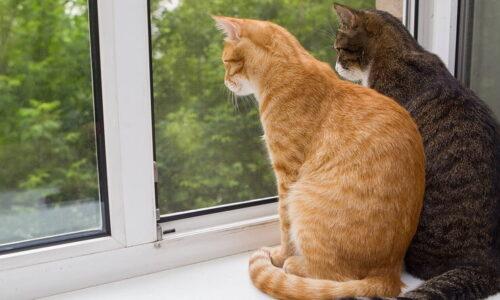 Kediler Neden Camdan Bakar?