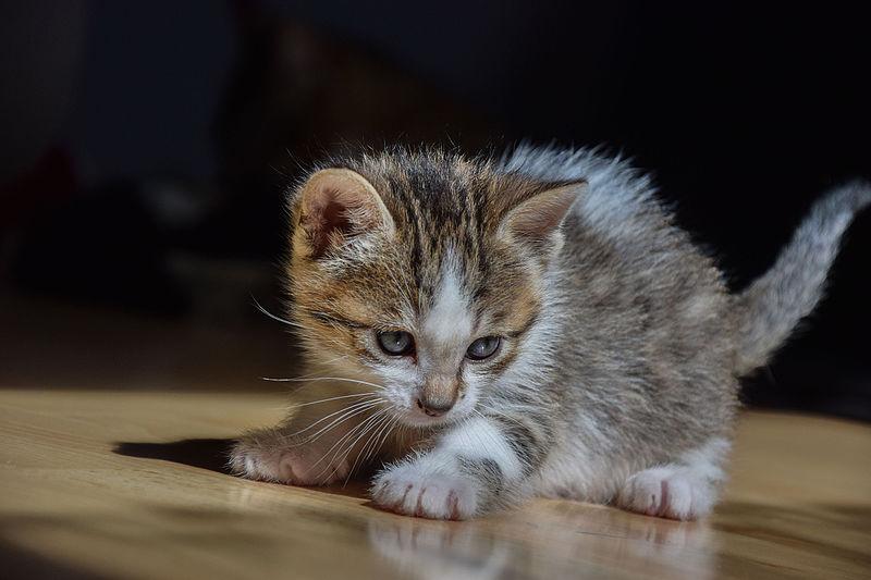 1 Aylık Kedi Boyutları