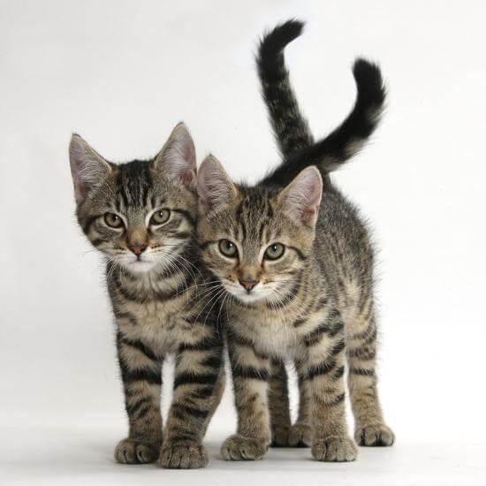 3 Aylık Kedi Boyutları
