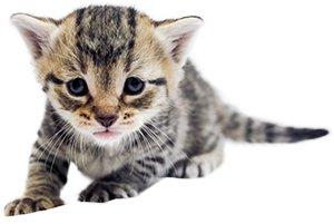 3 Haftalık Kedi Yavrusu