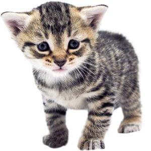 4 Haftalık Kedi Yavrusu