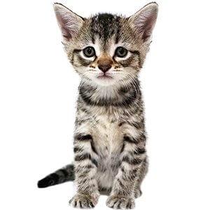 5 Haftalık Kedi Yavrusu