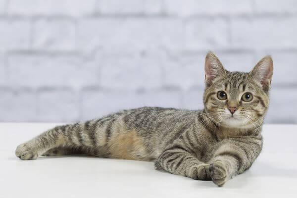 6 Aylık Kedi Kaç Kilo Olmalı?