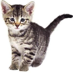 6 Haftalık Kedi Yavrusu