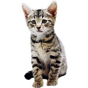 7 Haftalık Kedi Yavrusu