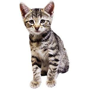 8 Haftalık Kedi Yavrusu