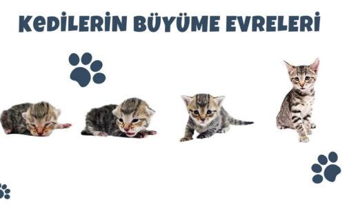 Kedilerin Büyüme Evreleri
