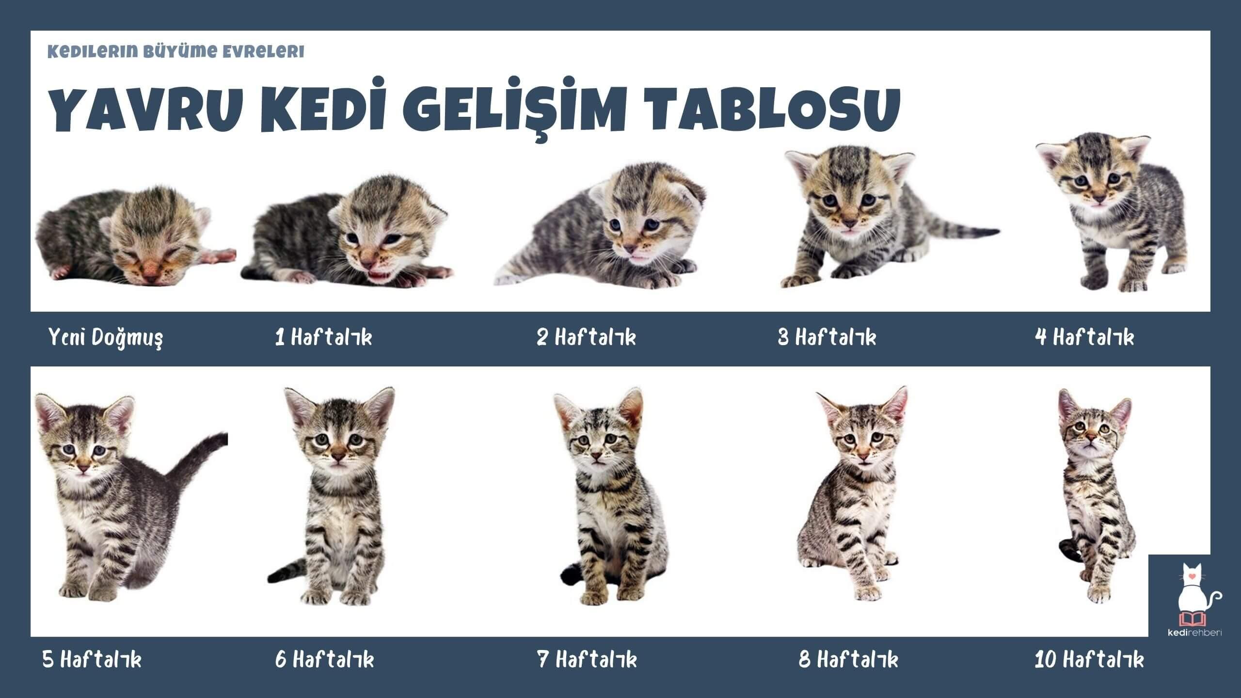 Yavru Kedi Gelişim Tablosu